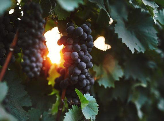 Le Feteasca, l'un des nombreux cépages indigènes, donnent des vins tanniques, intenses en saveurs et aptes à la garde